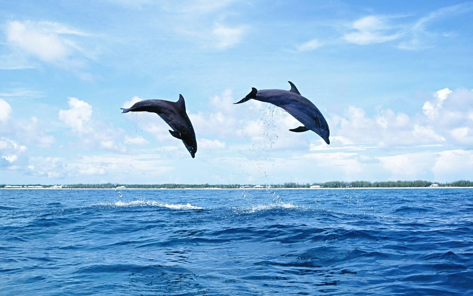 Dolphin Wallpaper With Dolphins Jumping High Out Of The Water Your Training Edge